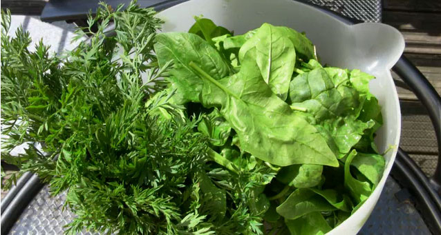 Spinat und Karottengrün, die Zutaten für einen grünen Saft - entsaftet mit dem Entsafter Angel Juicer